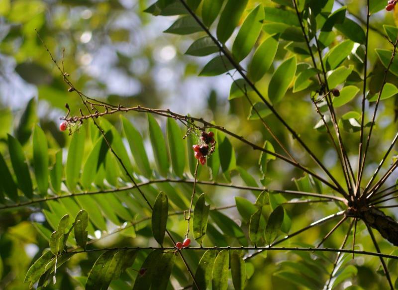 Bài thuốc nam chữa yếu sinh lý với cây mật nhân