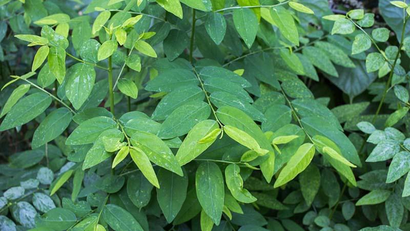 Rau ngót là loại rau không mấy xa lạ với bữa ăn gia đình Việt