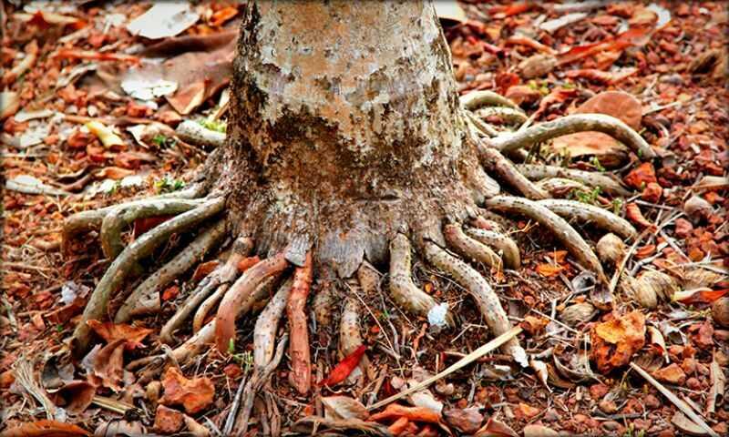 Rễ cau nổi dùng trị xuất tinh sớm là phần rễ nhô lên khỏi mặt đất