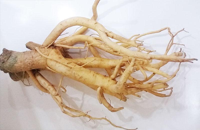 Rễ đinh lăng được coi là dược liệu tiêu biểu trong điều trị xuất tinh sớm