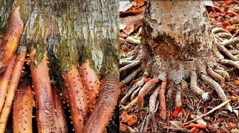 Dùng rễ cau sắc nước uống mỗi ngày